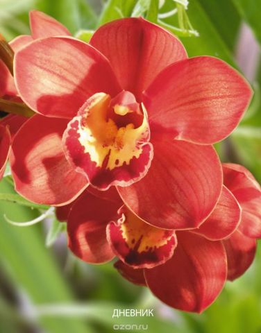 Апплика Дневник школьный для старших классов Красная орхидея